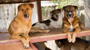 The Soi Dog Project rescues Thailand's strays.