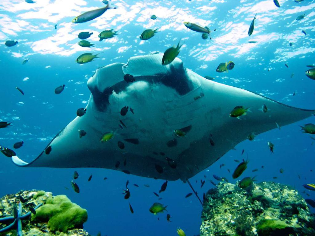 best dive sites in thailand manta rays at hin deang muang